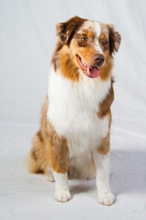 「ミニチュア・アメリカン・シェパード」 中型の牧羊犬で、乗馬愛好者に人気があります。馬術大会で見かけることが多い犬のようです。 ちょっとオーストラリアン・シェパードにも似た雰囲気です。