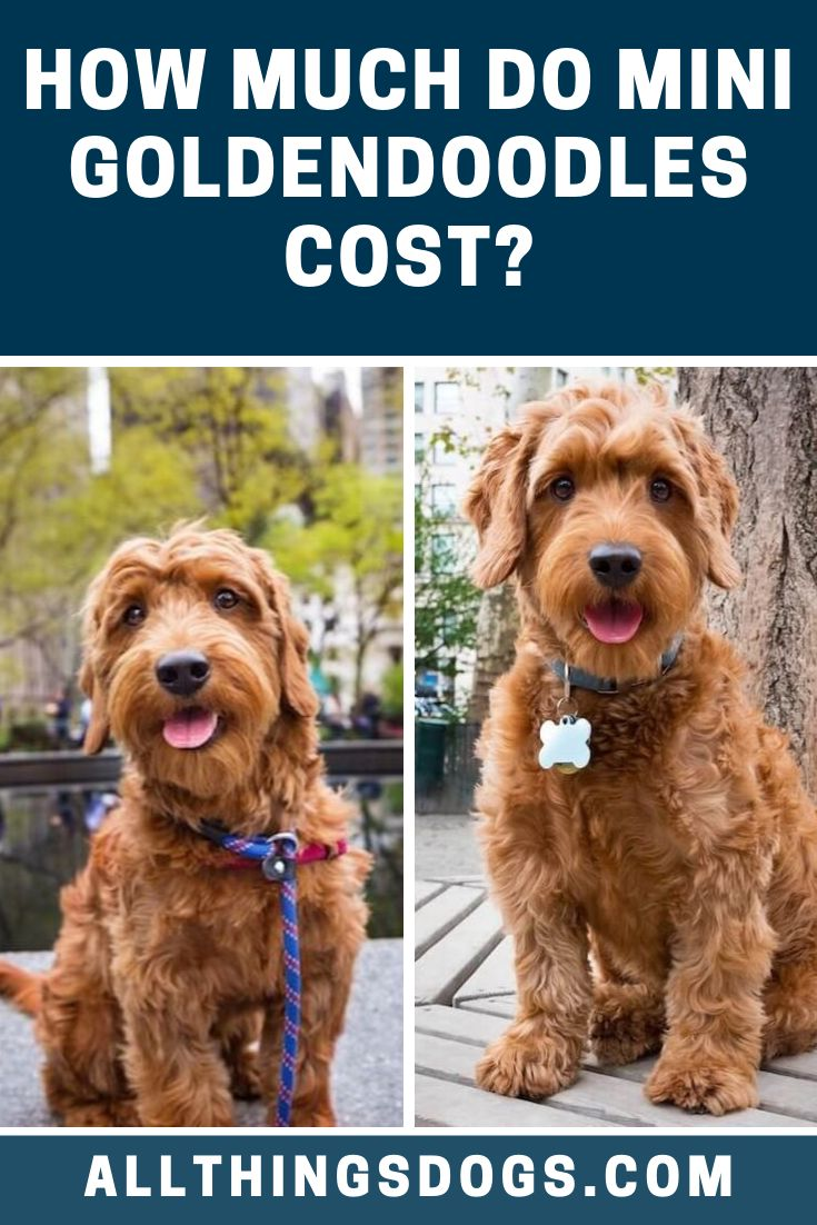 The average Mini Goldendoodle price is between 1,500