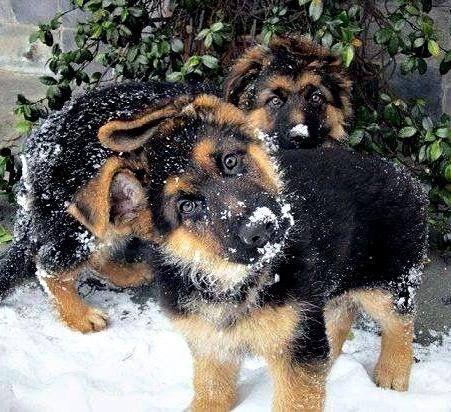 German Shepherd puppy head tilt is the cutest ever!