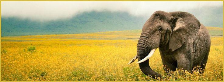 Elephant in a field full of yellow wild flowers~
