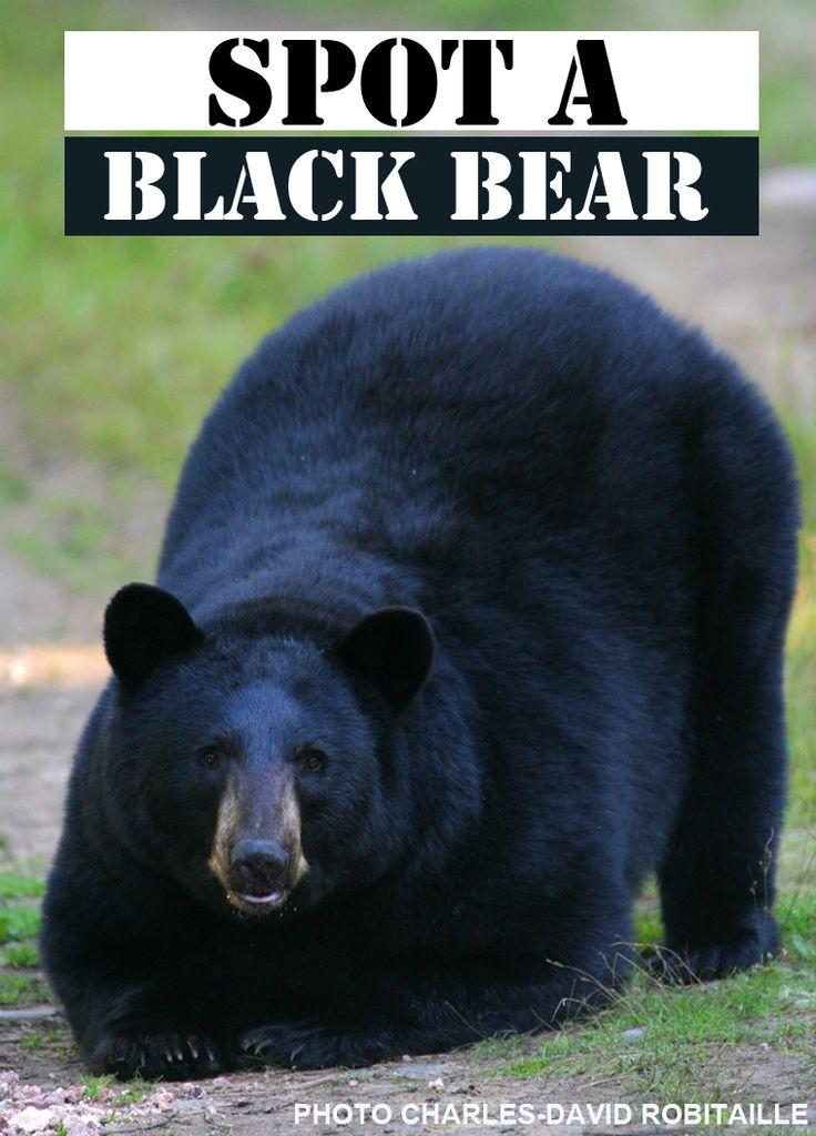 Here is a great reason to visit #Saguenay_Lac this fall : Spot a black #bear! Reason 167. #175reasons