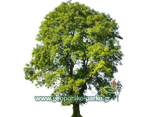 Δέντρα Κήπου : Μελιά δέντρο - Fraxinus excelsior