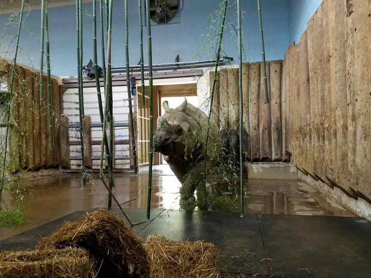 Rhino Bamboo Curtain Zoo Enrichment Ideas Pinterest