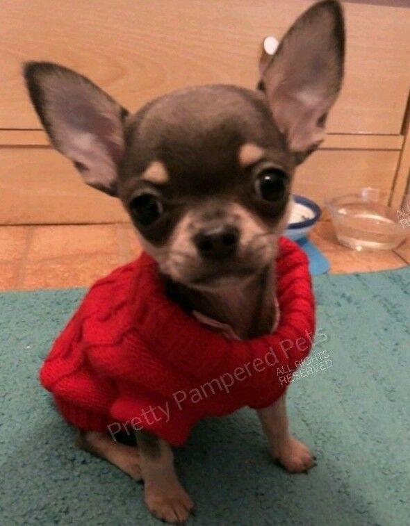 Tea Cup Chihuahua Xxxs Puppy Size Knit Coat Pet Clothes Dog Xxs