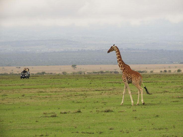The beautiful plains of Solio. #Africa #Travel #Giraffe #wildlife