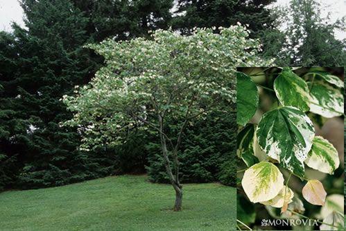 Tree/Shrub...Cercis canadensis   silver-cloud-redbud500