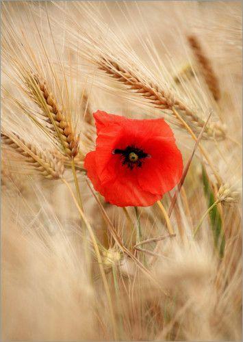 Symbols of the Goddess Ceres/ Demeter Red poppy in wheat field- Ceres is goddess of harvest- hence word Cereal