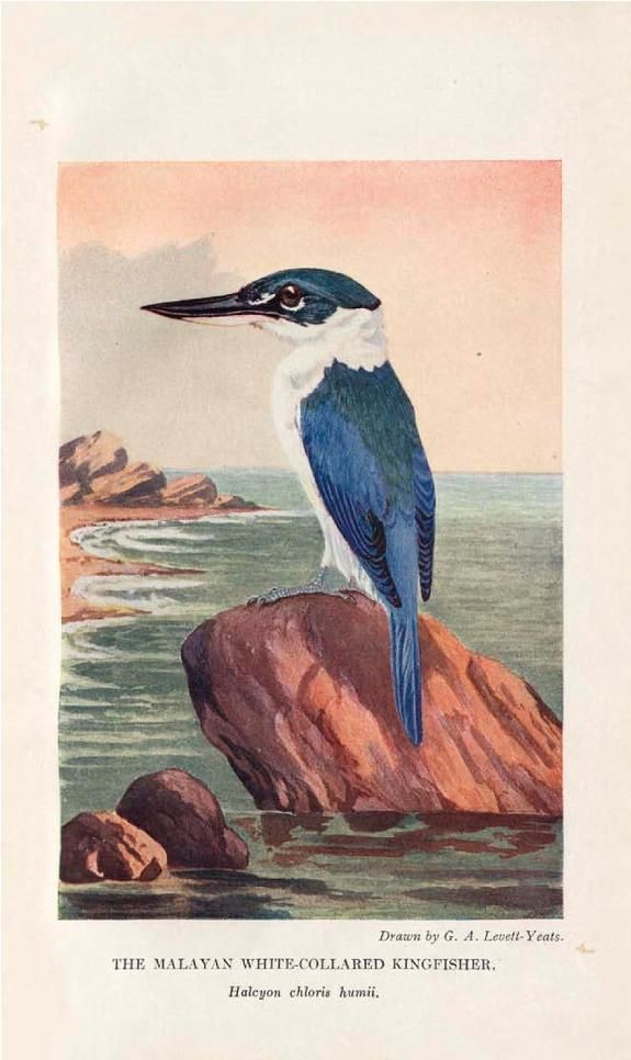 The birds of Singapore Island. - Biodiversity Heritage Library. Image from the most-viewed Flickr album from National Library Board, Singapore. http://biodiversitylibrary.org/page/47191351. #BHLat10