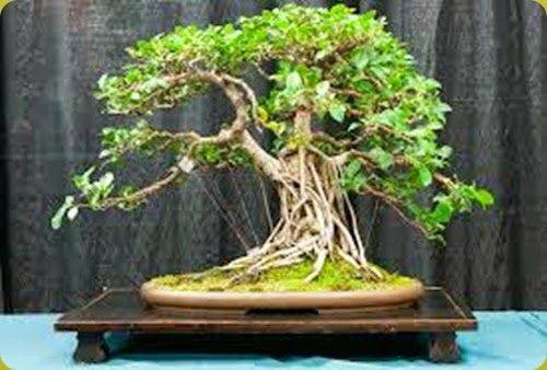 Best 25 bonsai ficus ideas on pinterest ficus bonsai for Bonsai da interno