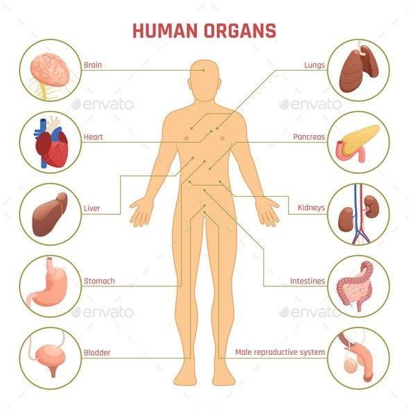 Human Organs Infographics In 2020 Human Organ Diagram Human Organ Human