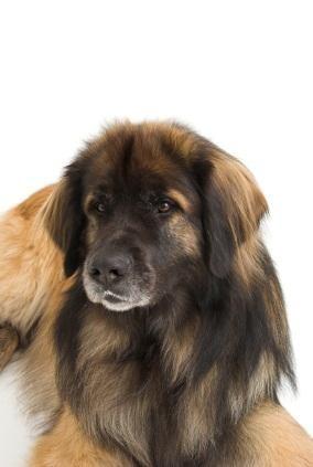 Leonberger ~ beautiful big dog!