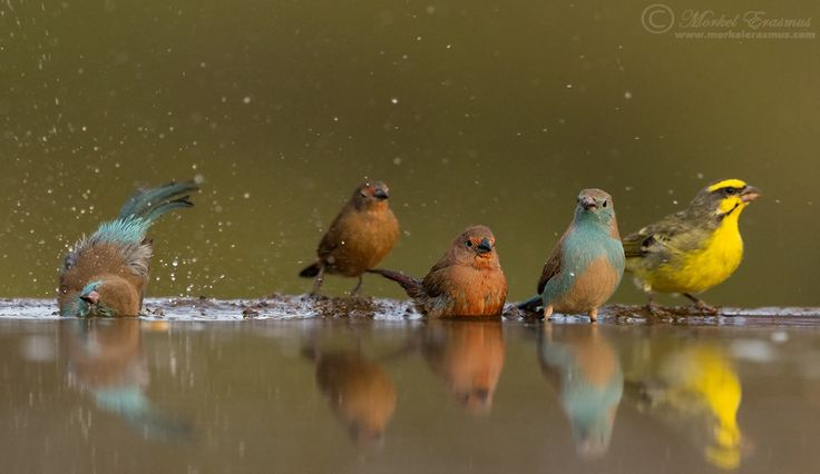 A couple of birds drinking from the Zimanga bird hide in South Africa - Blue Waxbill, Jameson's Firefinch and Yellowfronted Canary.   Photographed from a specialised custom-built bird photography hide in the Zululand region of South Africa.  You can join me on a photo safari next year: WILD EYE PHOTO-SAFARIS  Other links: WEBSITE FACEBOOK GOOGLE+  This photo is Copyrighted © Morkel Erasmus Photography.You may share this image as presented here under the Creative Commons ...