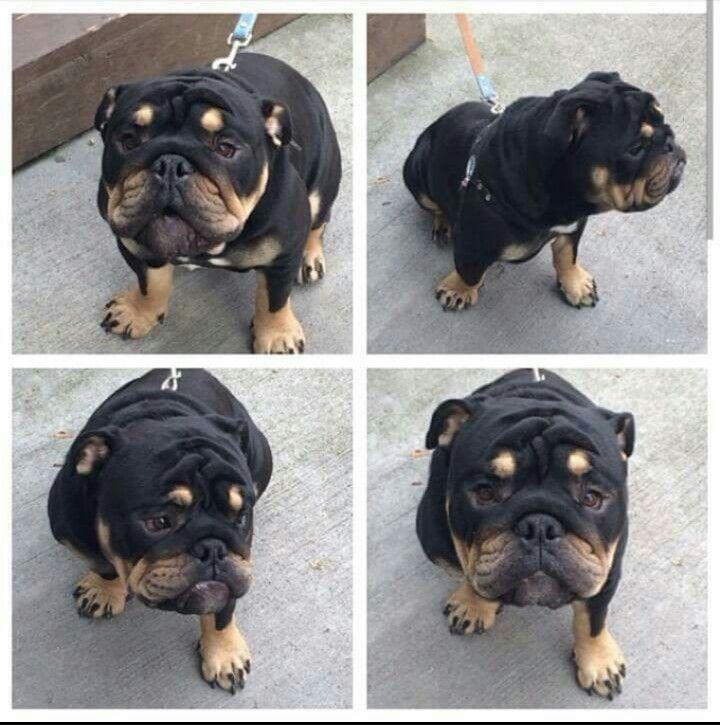 English Bulldog Mixed With Rottweiler Bulldog Puppies English