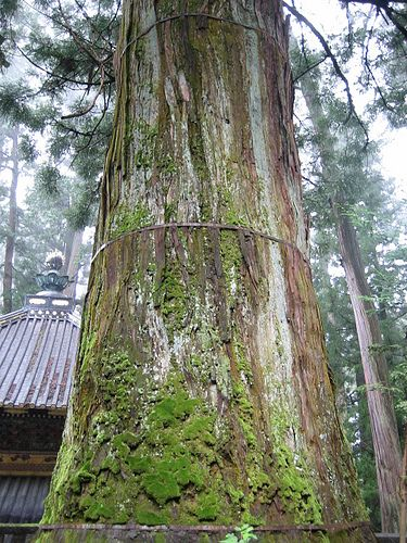 The Old Tree in Nikko(2008)
