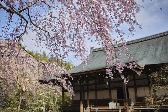 春の京都 桜めぐりで訪れたい名所、精進料理店5選