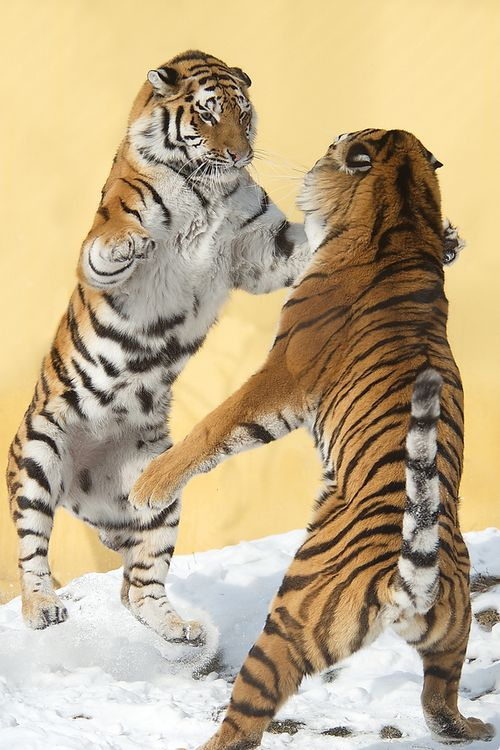 Herculean battle of strength between two magnificent creatures (by Jutta Kirchner) #animals #bigcats #tigers