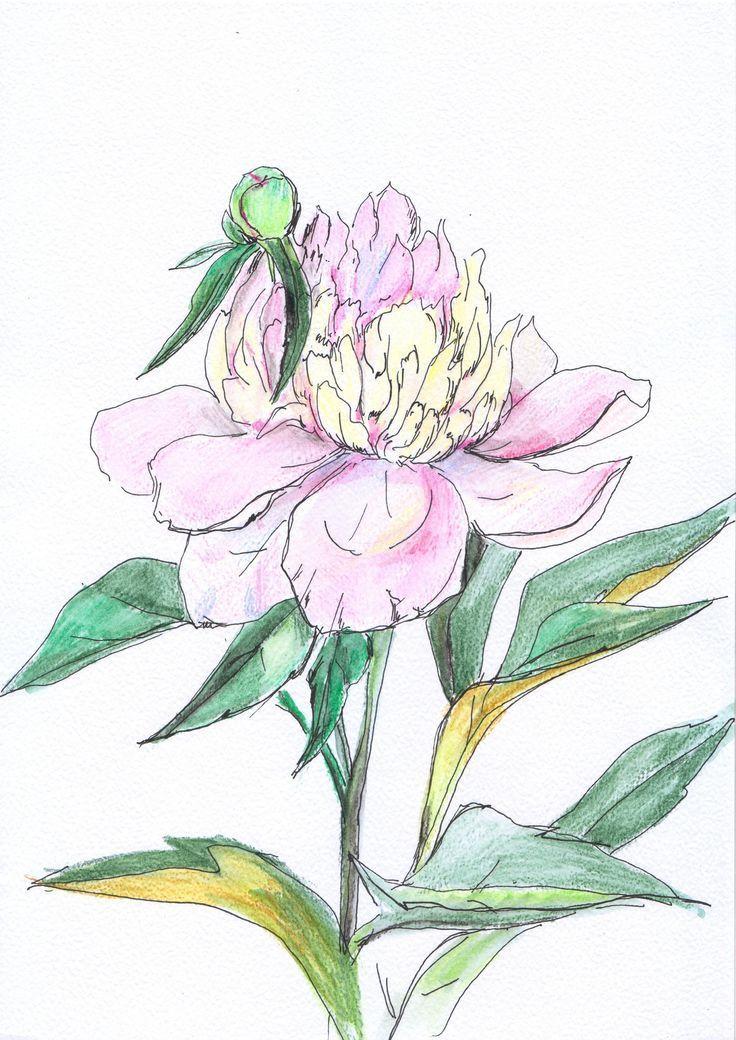 Pfingstrose Blume Aquarell Pfingstrose Englisch Haus Aquarell