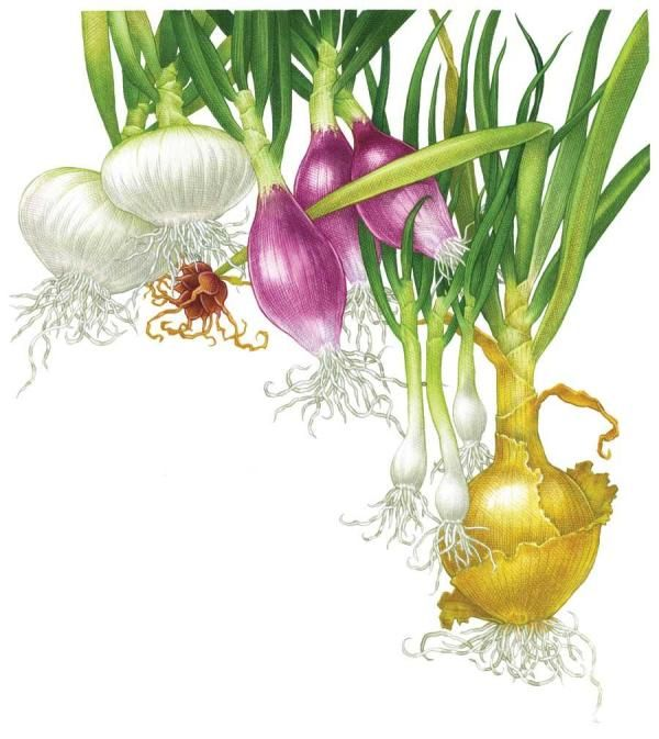 All About Growing Onions - My concise crop profile from MOTHER EARTH NEWS