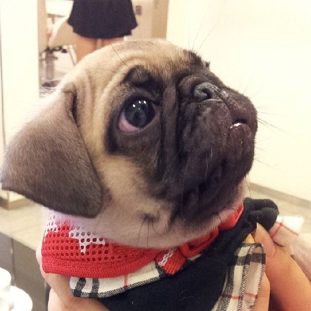 #pug#pugs #puglife #pugstagram #instapug #puppia #pugsofinstagram #puglover #puppy #baby #dog #dogs #pet #love #cute #happy #개 #퍼그 #강아지