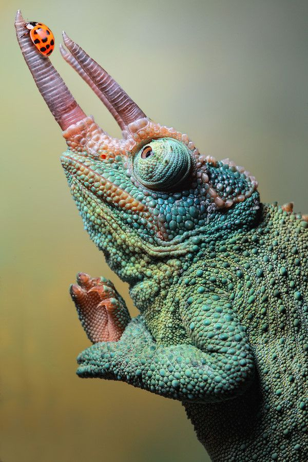 """Three-horned Chameleon by Igor Siwanowicz. """"Working with notoriously uncooperative little beasties presents another challenge altogether. You can't make them pose for you. They do what they please - and you have to figure out what it is."""""""