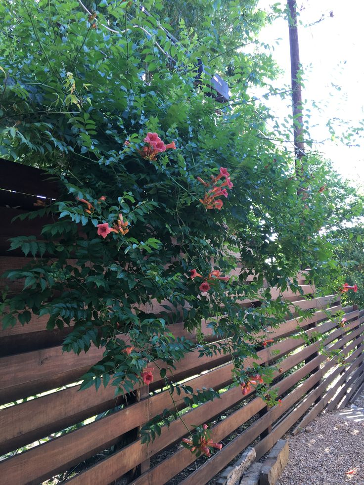 Campsis radicans (Trumpet Vine) - Grows up to 35 ft/ woody, aggressive vine (often invasive if not maintained) / full sun / holds on using suction / perennial / deciduous / Blooms June-September / reddish orange trumpet flowers / moderately drought tolerant / heat tolerant / attracts hummingbirds, bees / cold tolerant / moderately deer resistant
