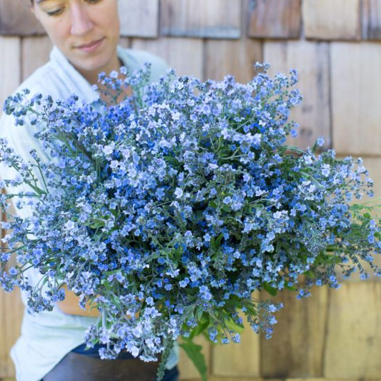 Unlike traditional biennial Forget-Me-Nots which require a full year to bloom, Chinese Forget-Me-Nots can be grown as an annual crop and flower just three months from sowing. 'Blue Showers' produces an abundance of tall, delicate sapphire-smothered stems that look incredible en masse and mixed into arrangements.
