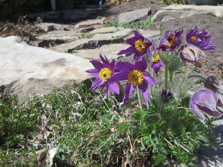 Pasque flowers (spring crocus)