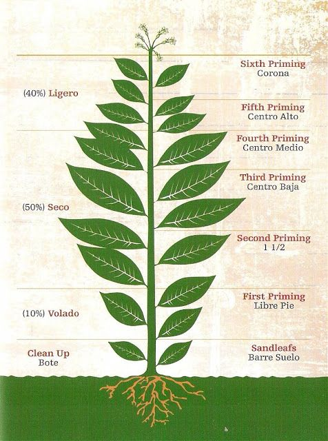 Tobacco Leaves - The Anatomy of the Tobacco Plant