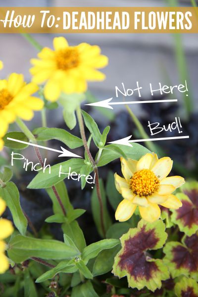 How to Deadhead Flowers and Tips for Container Planting. Pick a Thriller, A Filler & A Spiller - Love That Tip!!!