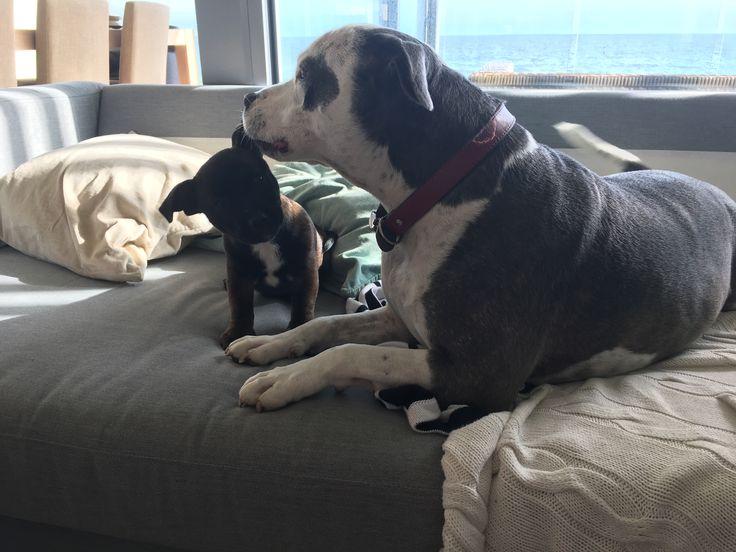 Tell me something. Puppy. Staffy. Chihuahua-Mix