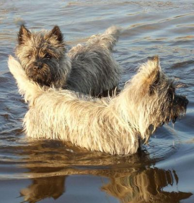 ... ️ and more cairn terriers hunters