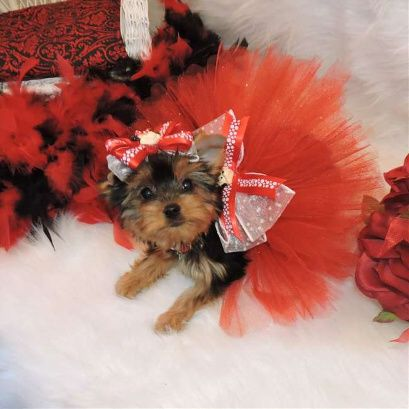 Teacup Yorkie Puppies Available for Adoption, AKC Teacup Yorkie Puppies for Adoption
