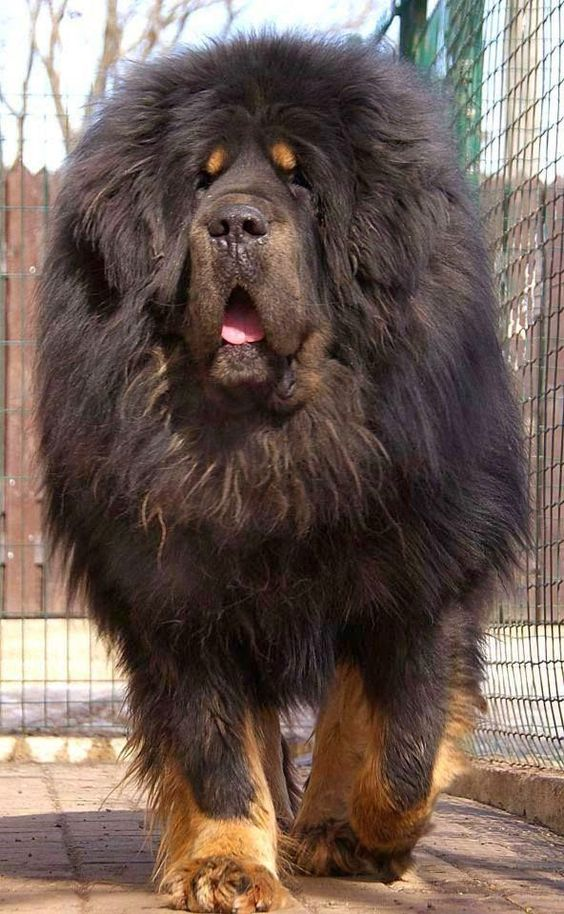 Tibetan Mastiffs are on the No.1 spot in being most expensive of all dog breeds.These dogs were originated centuries ago in Tibetan region.This specific dog in this picture was of priced 1.5 million dollars.Tibetan Mastiffs can normally cost up to $3000-$15,000.
