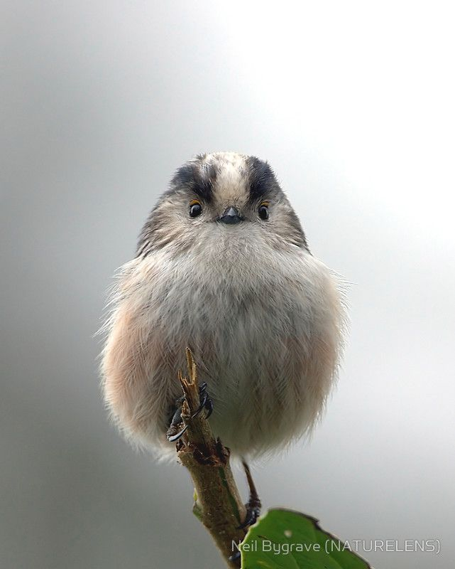 Long Tailed Titmouse - An extra fluffy bird :) How Adorable!!