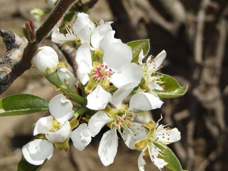 Floración de perales.
