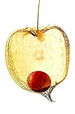 Physallis -  aka Cape Gooseberry.  My favourite garnish for dessert.: