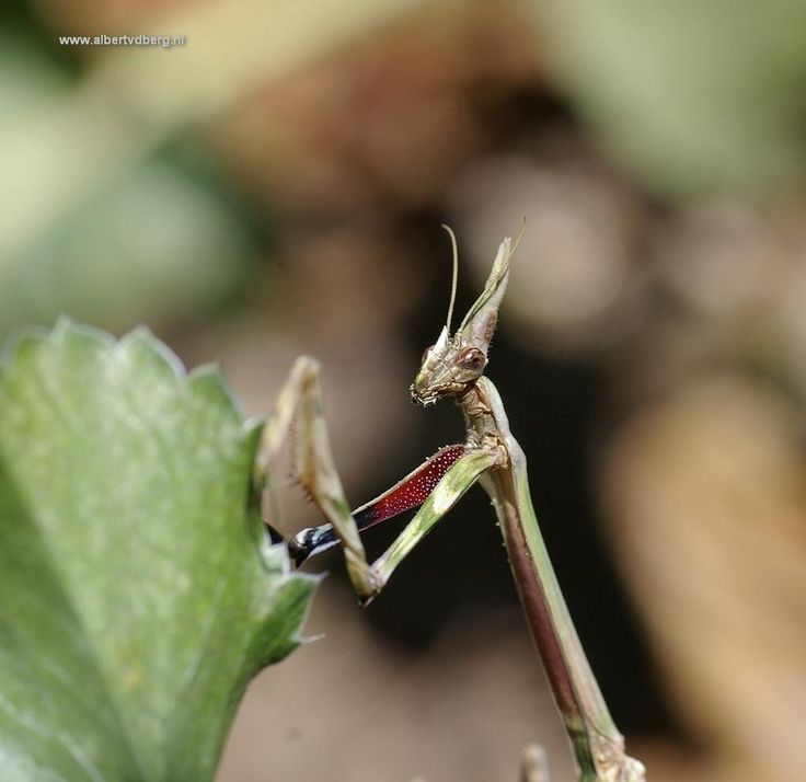 Bidsprinkhanen zijn eigenlijk geen sprinkhanen, ze zijn verwant aan kakkerlakken. Deze zat in een struikje naast de voordeur. Lijkt wel een alien