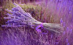 lavendel | Achtergrond met paarse lavendel | Bureaublad-achtergronden.nl