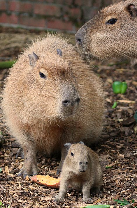The world's largest rodent species, the capybara, sometimes called the giant guinea pig, comes from parts of South America and can grow up to 1.3 meters in length.