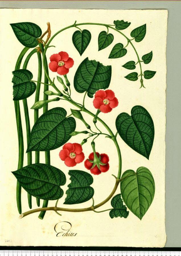 Té verde de lata: Ilustraciones sobre botánica. para se exactos: Dib...