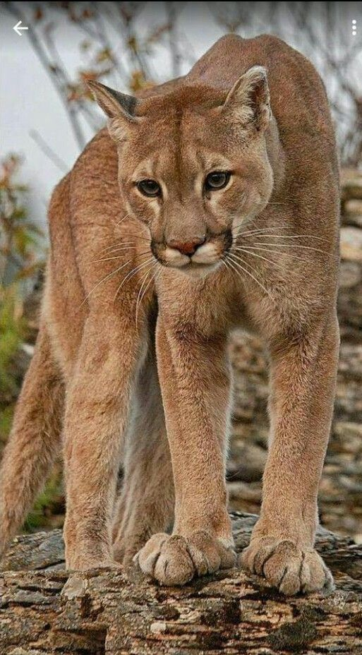 Mountain lion !!! A beautiful creature of the wild.