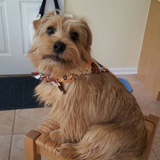 Norfolk Terrier Dog Breed Information - American Kennel Club