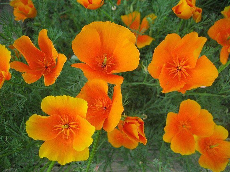 O . Escholtzia californica (Pavot de Californie): -Permet de traiter différents troubles du sommeil.