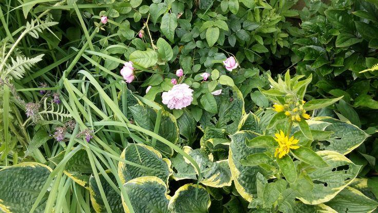 Hostas and cottage rose