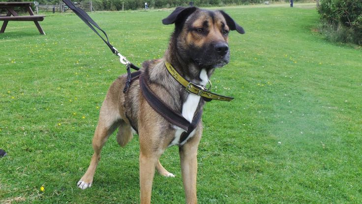 Gizmo here from Leeds is waiting for his #SpecialSomeone - he is a very intelligent, loving, playful and energetic lad who will make a great companion for an active owner who doesn't mind taking on some basic training.   Gizmo can be very shy at first, espescially with men & will need a patient, hands off approach to start with. He would be best homed in a quieter adult home but becomes more confident with a bit of time & patience.
