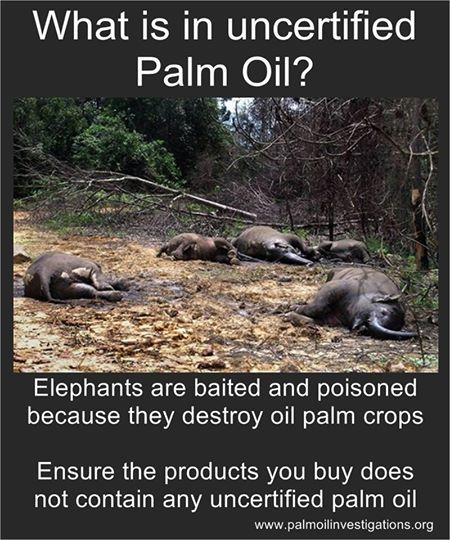 What is in uncertified Palm Oil? Elephants are baited and poisoned because they destroy oil palm crops. Ensure the products you buy do not contain any uncertified palm oil. | Not only does this happen, but planting palm oil crops destroys orangutan habitat, thereby leading to their deaths as well. NUTELLA uses uncertified palm oil. Check labels!