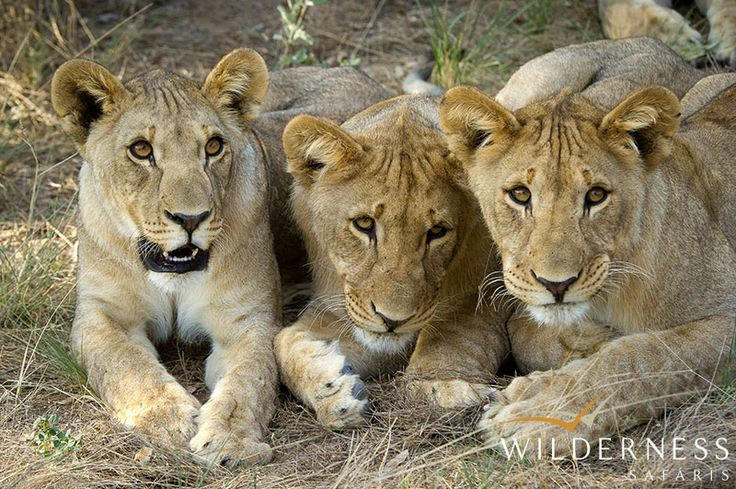 Ongava Lodge - Lion move between Etosha and the Ongava Reserve #Africa #Safari #Namibia