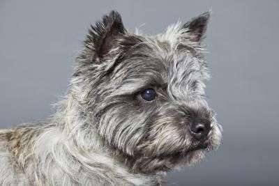 """The cairn terrier earned fame as """"Toto"""" in the classic 1939 film """"The Wizard of Oz."""" This small terrier originated in Scotland, where he was used to help kill vermin. Cairn refers to rock piles, homes of the foxes and badgers who preyed on livestock. The cairn's task consisted of wriggling into the cairns and holding the animal at bay for the farmer to kill."""
