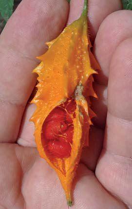 RMA 79 - A planta é um vegetal comum da Ásia e que tem o nome de melão amargo (Momordica charantia - no Brasil, pode ser conhecido como melão-de-são-caetano), sendo popular na região de Okinawa, no Japão.