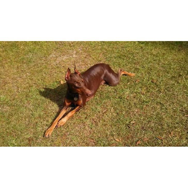 Doberman puppies for sale AKC registered